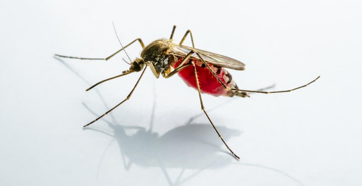 Florida Releasing Gene HackedMosquitoes